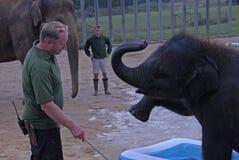Parque zoológico Bedfordshire Reino Unido de Whipsnade del elefante del bebé Imagen de archivo