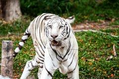 Parque zoológico blanco del chiangmai del tigre Imagen de archivo libre de regalías