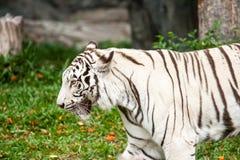 Parque zoológico blanco del chiangmai del tigre Foto de archivo