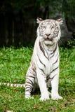 Parque zoológico blanco del chiangmai del tigre Fotos de archivo libres de regalías