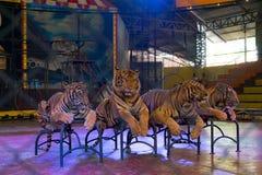 Parque zoológico Chonburi, Tailandia de Siracha septiembre de 2017: Tigre que coloca esperando una demostración Foto de archivo libre de regalías