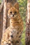 Parque zoológico de Boise del Serval fotos de archivo libres de regalías