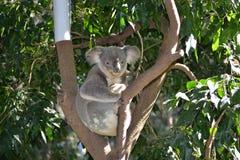 Parque zoológico de Gold Coast Foto de archivo libre de regalías