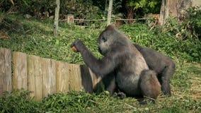 Parque zoológico de Gorilla Breaking Coconut Open At metrajes