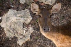 Parque zoológico de los ciervos Fotos de archivo