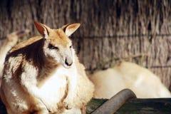 Parque zoológico de Taronga del ualabi @, Sydney imágenes de archivo libres de regalías