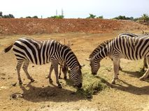 Parque zoológico del auto del safari Foto de archivo libre de regalías