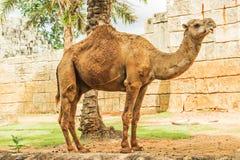Parque zoológico del camello Fotografía de archivo