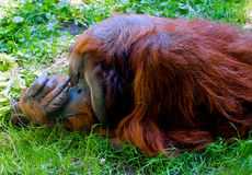 Parque zoológico del parque del arbolado de Seattle del orangután Fotos de archivo libres de regalías