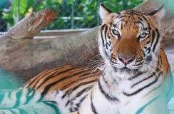 Parque zoológico del tigre, Sriracha Tailandia Imagen de archivo libre de regalías