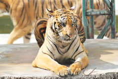 Parque zoológico del tigre, Sriracha Tailandia Fotografía de archivo libre de regalías