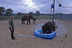 Parque zoológico Inglaterra Reino Unido de Whipsnade del elefante indio del bebé Fotografía de archivo