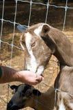 Parque zoológico que acaricia de la cabra Imágenes de archivo libres de regalías