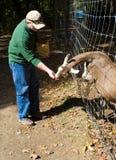 Parque zoológico que acaricia de la cabra Fotos de archivo