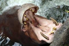 Parque zoológico que espera del hipopótamo hambriento para foto de archivo libre de regalías