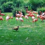 Parque zoológico rosado de la belleza de los flamencos Imagen de archivo libre de regalías