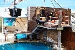 Parque zoológico Sydney de Taronga de la demostración del sello @ fotografía de archivo libre de regalías