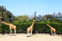 Parque zoológico Sydney de Taronga de tres jirafas @ Fotos de archivo