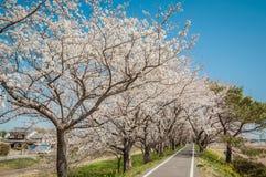 Parquee con la floración hermosa de cerezos y de gente Imágenes de archivo libres de regalías