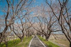 Parquee con la floración hermosa de cerezos y de gente Imagen de archivo libre de regalías