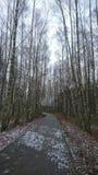 Parquee similar al bosque con los abedules en Lituania Fotografía de archivo