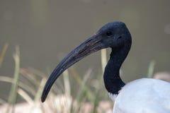 Parques de Ibis y reservas brillantes de Suráfrica imágenes de archivo libres de regalías