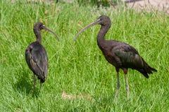 Parques de Ibis y reservas brillantes de Suráfrica foto de archivo libre de regalías