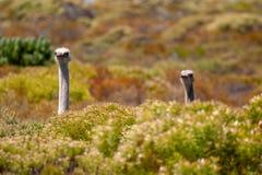 Parques de la avestruz y reservas africanos de Suráfrica imagen de archivo libre de regalías