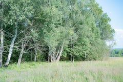 Parques naturales de la región de Moscú, delanteras infranqueables El prado es flores e hierba muy que huelen foto de archivo libre de regalías