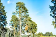 Parques naturales de la región de Moscú, pinos majestuosos que balancean en el cielo azul fotos de archivo libres de regalías