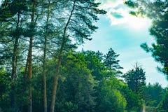 Parques naturales de la región de Moscú, pinos majestuosos que balancean en el cielo azul fotos de archivo