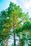 Parques naturales de la región de Moscú, pinos que balancean en el cielo azul imagen de archivo
