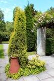 Parques y jardines hermosos - rosas y thuja con cerámica del terracota imagen de archivo libre de regalías