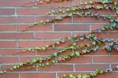 Parra en la pared de ladrillo Fotos de archivo
