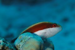 Parracirrhites forsterii - Hawkfish - Red Sea Stock Images