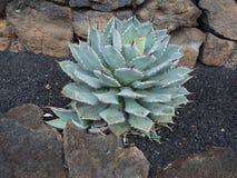 Parrasana αγαύης succulent με τα γαλαζοπράσινα φύλλα Στοκ φωτογραφία με δικαίωμα ελεύθερης χρήσης