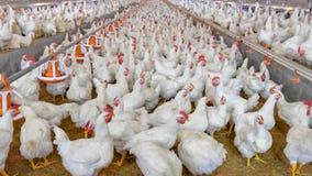 Parrilla de las aves de corral en negocio de vivienda de la granja imágenes de archivo libres de regalías
