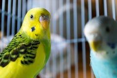 Parrocchetti maschii e femminili in una gabbia Immagini Stock