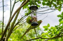 Parrocchetti verdi indiani appollaiantesi su un alimentatore dell'uccello Immagini Stock Libere da Diritti