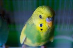 Parrocchetto (budgie) in una gabbia Fotografia Stock