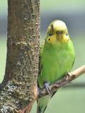 Parrocchetto comune verde e giallo in un albero Immagine Stock