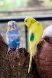 Parrocchetto di pappagallino ondulato di due uccelli Fotografia Stock