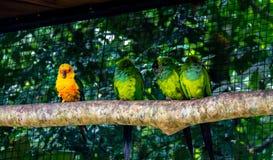 Parrocchetto di Sun che sta fuori vicino ai parrocchetti di Nanday agli aves di Parque das - Foz fa Iguacu, Parana, Brasile Fotografie Stock Libere da Diritti