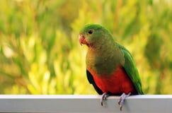 Parrot国王 库存照片