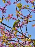 Parrot Аргентина, попугай quaker, monachus myiopsitta Стоковая Фотография RF
