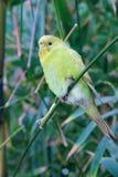 parrot желтый цвет стоковое изображение