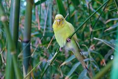 parrot желтый цвет стоковое фото rf