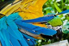 parrot застенчивое Стоковая Фотография RF