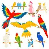 Parrot характер parrotry вектора и тропическая ара птицы или шаржа экзотическая в комплекте иллюстрации тропиков красочного иллюстрация штока