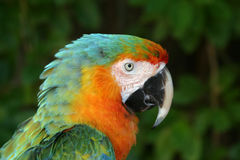 Parrot. A color parrot profile Royalty Free Stock Photo